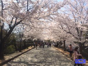 sakura-in-kumamoto1